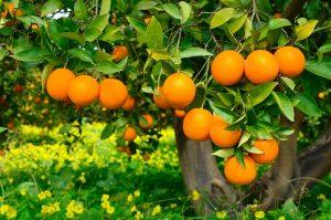 Comprar Naranjas valencianas según el mes