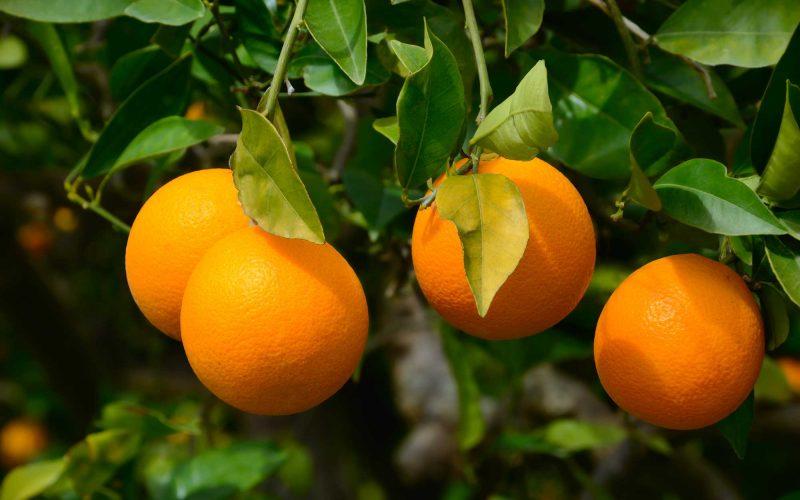 ¿Cuál es el secreto del Color y Dulzura de la Naranja Valenciana?