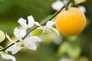 Explosión de olor y color en nuestros huertos de naranjas