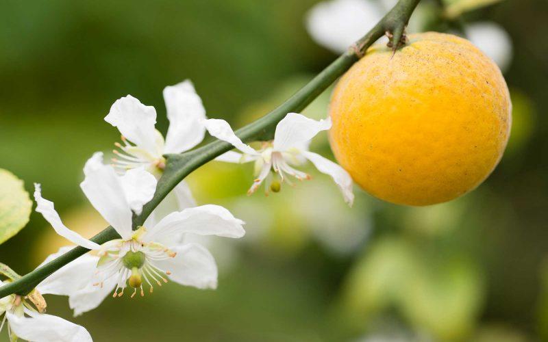 Explosion d'odeurs et de couleurs dans nos champs d'orangers.