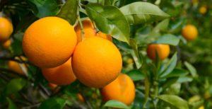 Empezamosla campaña de Naranjas 2018/2019recién cogidasy en tu casa en 24h