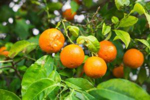 Beneficios de la Naranja y Características