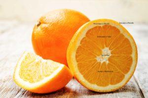 Partes de una Naranja. Anatomía de un Cítrico.