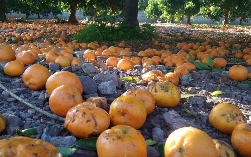 Oranges cultivées avec 50 produits chimiques interdits dans l'UE
